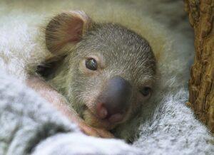 Das  Koala-Jungtier. Foto: Tiergarten Schönbrunn