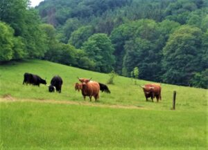 """""""Die Agrarbranche wird sich weiterentwickeln können, im Gleichklang mit dem Kaufverhalten der Konsumenten. Daher unterstützen wir als Bauernbund die Tierwohl-Initiative."""", so Georg Strasser. Im Bild sichtlich zufriedene S chottische Hochlandrinder im Bezirk Melk und Niederösterreich. Foto: © oepb"""